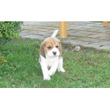 Encantadores Y Saludables Cachorros Beagle Disponibles Ahora