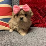 Adorables Cachorros Shih Tzu Pendientes
