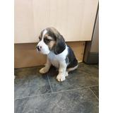 2 Adorables Cachorros Beagle Entrenados Para Adopción